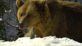 wildness : Brown bears in the winter forest. A big bear strolls through white snow.