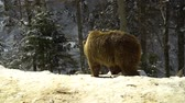 wildness : Brown bears in the winter forest. Three bears eat in the snow.