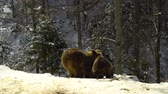 дикарь : Brown bears in the winter forest. Two bears eat in the snow. Mom and her cub.