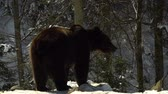 miś : Brown bears in the winter forest. One bear eats in the snow. Wideo