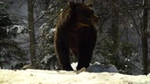 дикарь : Brown bears in the winter forest. One bear eats in the snow. Стоковые видеозаписи