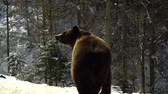miś : Brown bears in the winter forest. A big bear strolls through white snow.