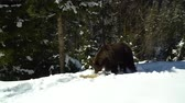 дикарь : Brown bears in the winter forest. A big bear strolls through white snow.