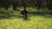 koza : Goat in the meadow. Goat eats grass on a green meadow.