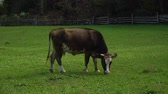 úbere : The cow in the meadow. A big brown cow eats grass on a green meadow.