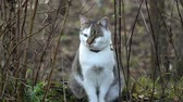 изумление : Beautiful cat. The cat sits in the yard and carefully looks around. Стоковые видеозаписи