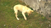 yellow dog : A young red puppy is having fun in the yard. The dog nibbles a branch. Yellow puppy