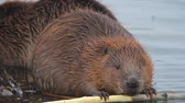 bóbr : wild beaver near lake, nature series Wideo