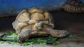 травоядный : Giant African spurred or Sulcata tortoise with green mouth by eating vegetable in close up looking to the side in a zoo over dark background