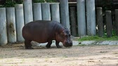 suaygırı : Hippopotamus or hippo eating green grass over dark background