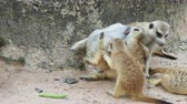 adapted : Meerkat playing and cuddling with family with concept of motherhood, brotherhood, and sharing