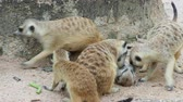guard : Meerkat playing and cuddling with family with concept of motherhood, brotherhood, and sharing