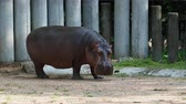 hipopótamo : Hippopotamus or hippo eating green grass over dark background