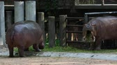hipopótamo : Hippopotamus or hippo eating green grass, threatening, and fighting over dark background Stock Footage