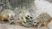 kazmak : Meerkat playing and cuddling with family with concept of motherhood, brotherhood, and sharing
