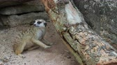 защищающий : Meerkat scratching and nibbling on a log wood with concept of curiosity, inquisitiveness, and finding Стоковые видеозаписи
