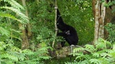 laosz : Black Gibbon with white face and eyebrow resting on a tree with head on the knee over nature background