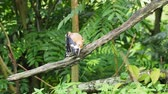 poleiro : Hoopoe bird with crown feathers or crest perching or sitting on a tree branch preening and cleaning itself on a blurred green background