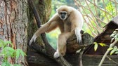 opice : Yellow gibbon with black face and white fur at eyebrow, cheek, hands, and feet resting on a log with blurred background
