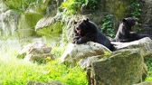 bear habitat : Asiatic black bear resting on rocks with another black bear over nature background Stock Footage