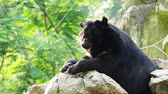 bear habitat : Asiatic black bear resting on rocks in close up over nature background
