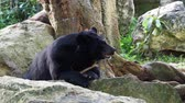 etobur hayvan : Asiatic black bear resting on rocks with another black bear over nature background Stok Video