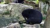 bear habitat : Asiatic black bear scratching its neck and smelling its feet over nature background Stock Footage