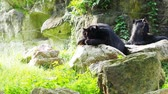 Тедди : Asiatic black bear resting on rocks and licking feet with another black bear over nature background