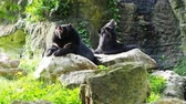 Тедди : Asiatic black bear resting on rocks with another black bear over nature background Стоковые видеозаписи