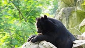 miś : Asiatic black bear resting on rocks in close up over nature background