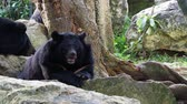 bear habitat : Asiatic black bear resting on rocks cuddling with another black bear over nature background