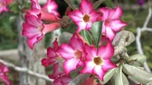 blooming : Pink Azalea flowers beautiful Stock Footage