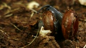 snails in the wild act of reproduction