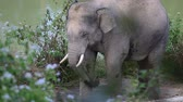 lumbering : Thai elephant in the forest