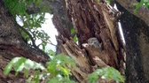 baykuş : Child cute owls is made in a hollow tree staring with big eyes in Thailand