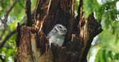 owl : Child cute owls is made in a hollow tree staring with big eyes in Thailand, 4K DCI