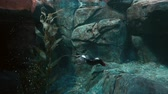 pinguin : Video of a Penguin Underwater