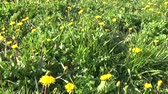 flora : Spring meadow with dandelions. Removed Steadicam the movement of the subjective camera.