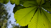 thoroughly : Leaf chestnut tree thoroughly illuminated by the sun. Video footage hd shooting in spring of static camera. Stock Footage