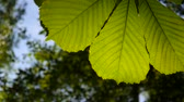 thoroughly : Leaf chestnut tree thoroughly illuminated by the sun. Video footage hd shooting in spring of static camera. Castanea. Stock Footage