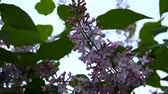syringa : Flowering branch of lilac purple. Syringa vulgaris. Macro shooting static camera. Slight swaying in the wind. Flowering branch of lilac purple. Syringa vulgaris. Macro shooting static camera.