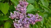 syringa : Flowering branch of lilac purple. Syringa vulgaris. Macro shooting static camera. Slight swaying in the wind.