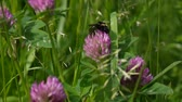 collided : The bumblebee sits on a red clover flower. Close up video. Shooting of static camera. Stock Footage