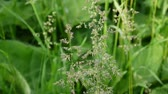 метелка : Common meadow grass in a field Poa pratensis . Conical panicles The plant is also called Kentucky bluegrass. Стоковые видеозаписи
