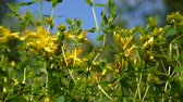 fitoterapia : St. Johns wort, medicinal plant with flower in the field. Stock Footage