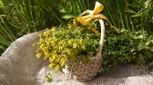 fitoterapia : Basket with the collected grass St. Johns wort in the field on the burlap. Harvesting of medicinal plants in summer. Static camera. Stock Footage