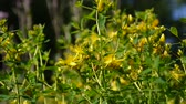 fitoterapia : St. Johns wort, medicinal plant with flower in the field in summer close up.