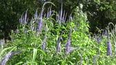 атрибут : Veronica longifolia. Wild flower in the field. Video footage HD motion camera. Panorama of the blooming field.