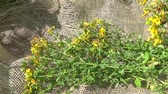 fitoterapia : St. Johns wort grass collected in the field on the burlap. Harvesting of medicinal plants in summer. Panorama motion camera with steadicam. Stock Footage