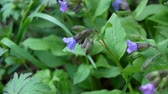 lungwort Pulmonaria blooming in spring. Video slight movement of the flower from the wind. Wideo